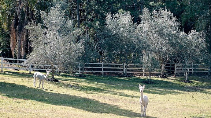 "Two pet alpacas, Dotty and Buddy, are the ""soul of the farm."""
