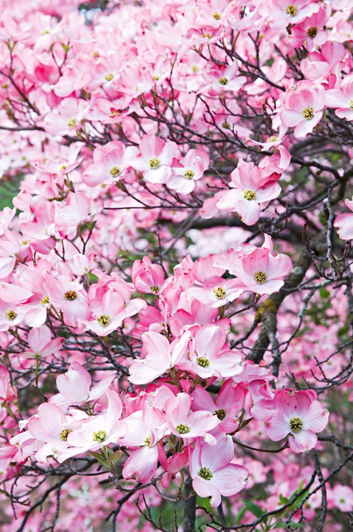 In early spring, many of the garden's deciduous trees are flushed with blossom.