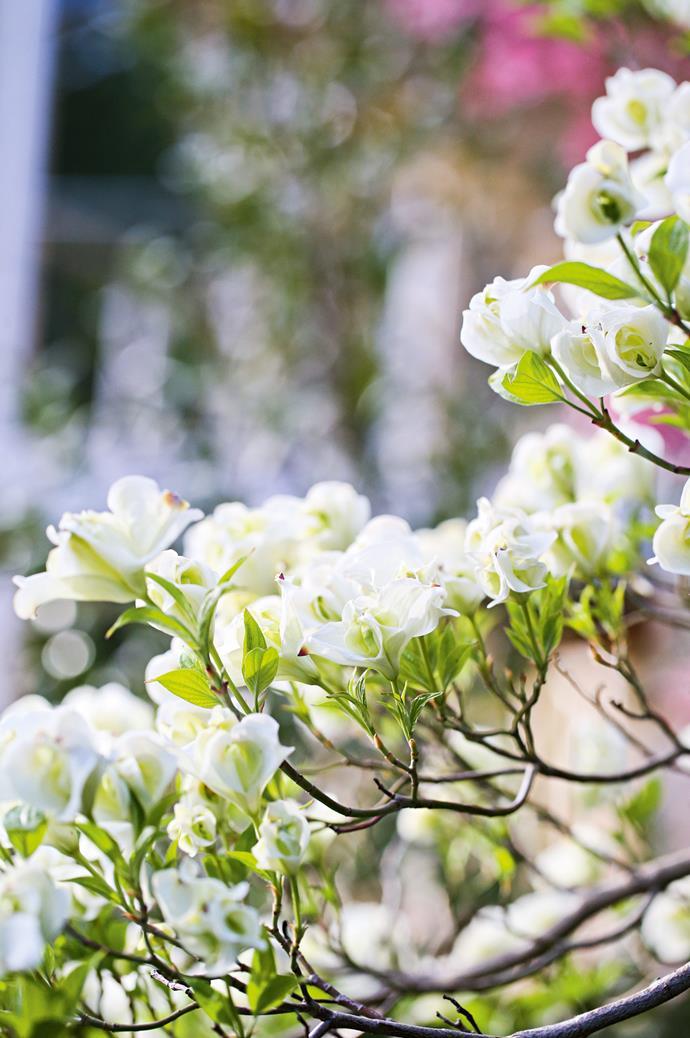 Double white flowering dogwoods.