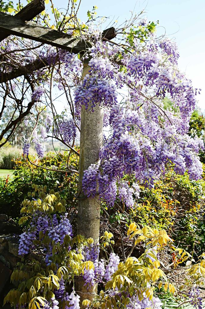 Wisteria growing over a pergola in the barbecue area.