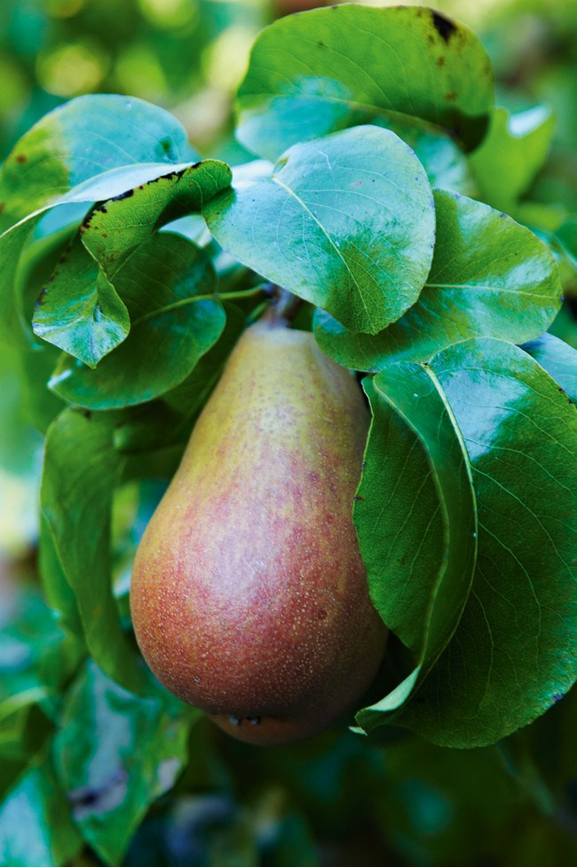 A Beurre Hardy pear is one of the 60 varieties on offer.  | Photo: Michael Wee