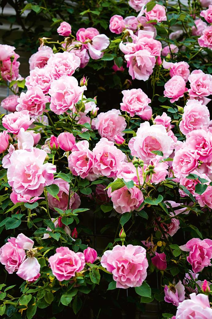 Garden roses in full bloom.