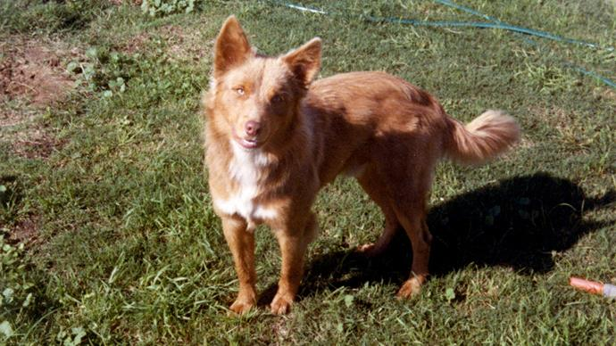 Eddie, a red and tan kelpie owned by the Alstergren family.