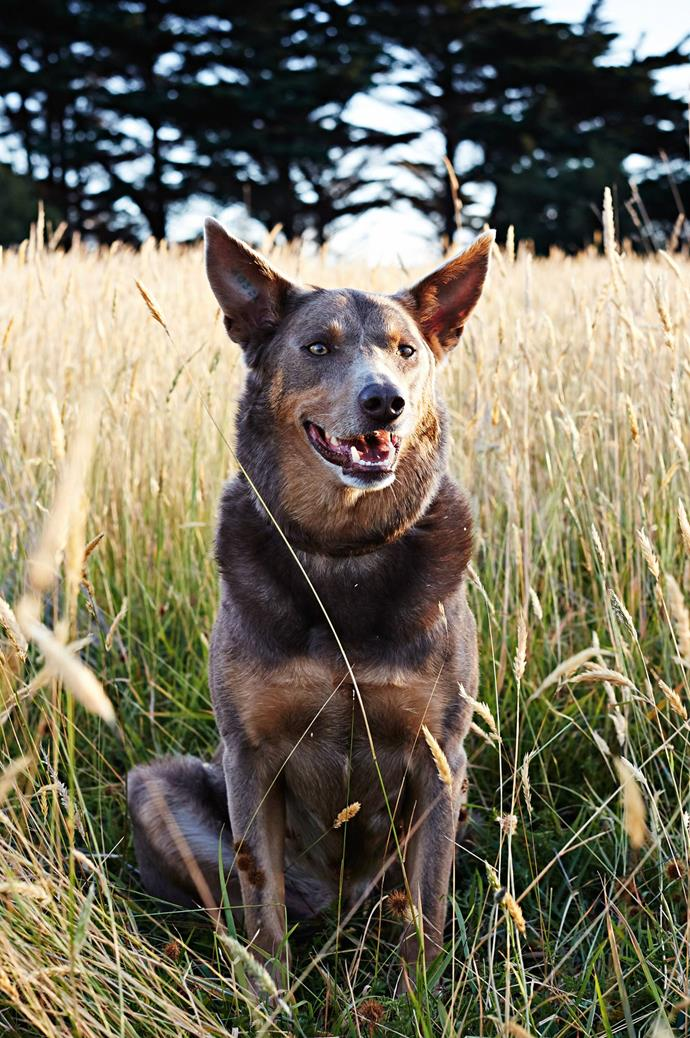 According to Kate, Cricket the Kelpie is quite the character.