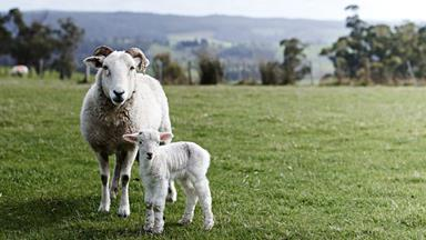 Grazing right: An ethical sheep farm in Tasmania