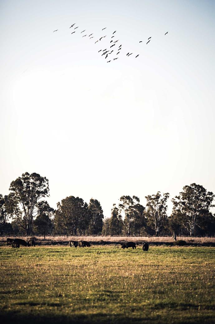 Berkshire pigs are free to roam the property, exploring its river red gums and mud puddles.