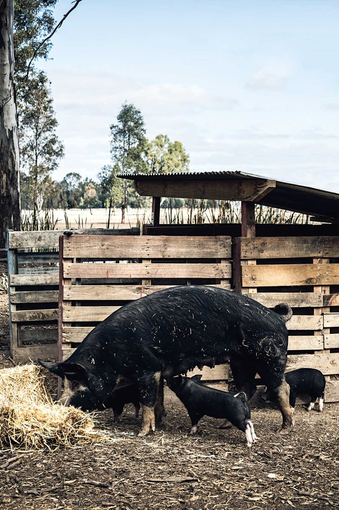"""""""Berkshires farrow easily and the piglets are doing well,"""" says Lauren."""