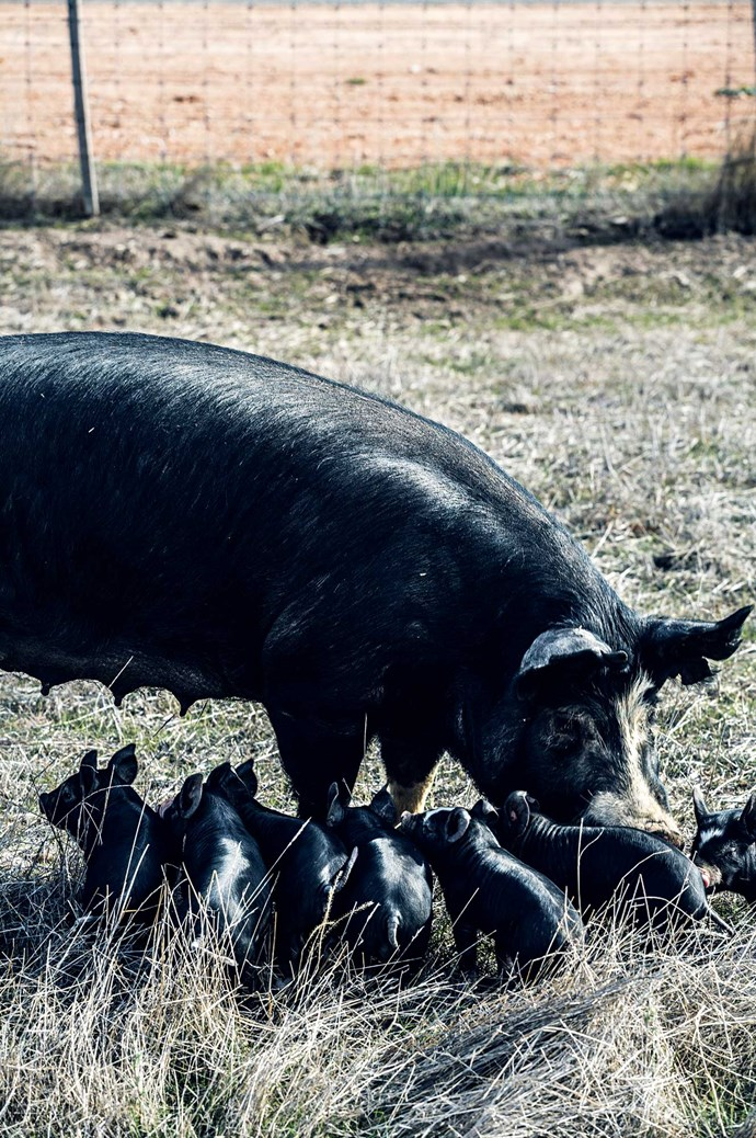 Lauren and Lachy were inspired to start their pig farm after noticing how difficult it was to get ethically reared pork in their region.