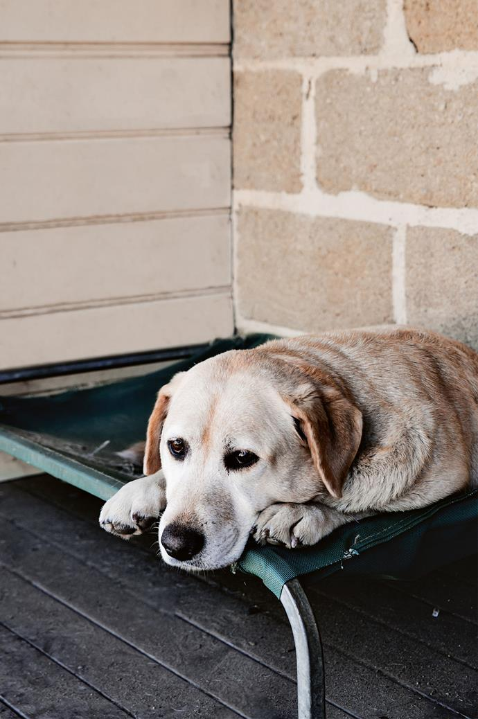 Lucy the labrador takes a break.