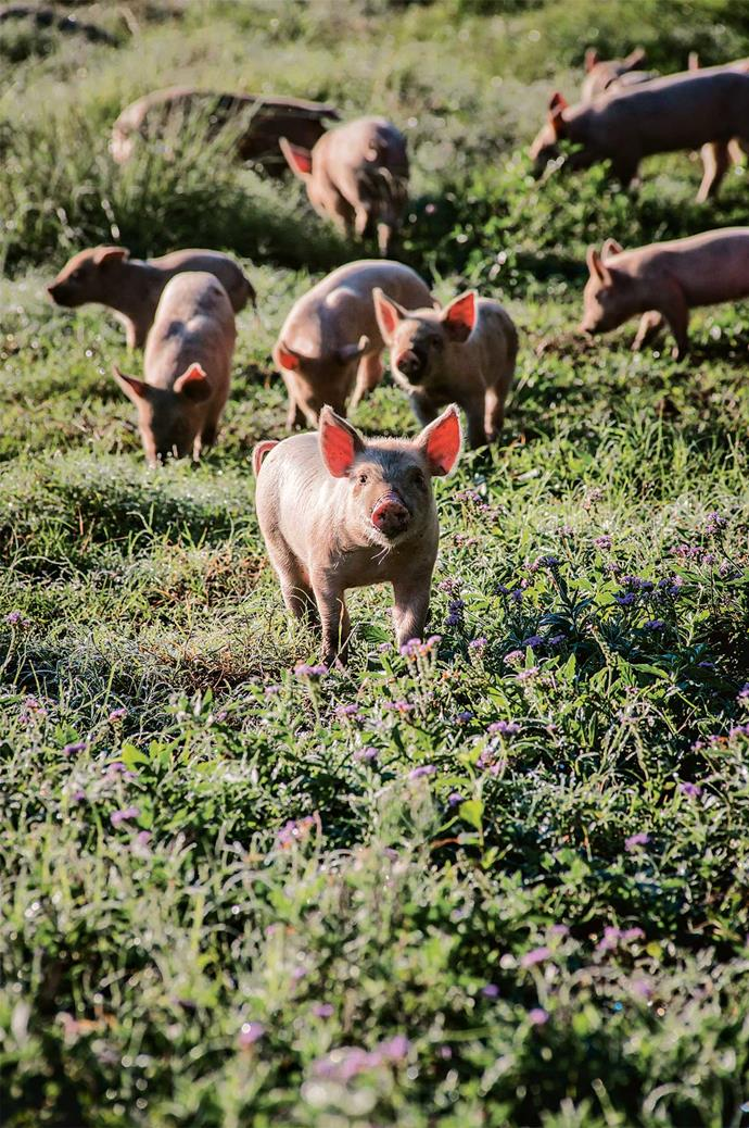 The pigs turn over the soil and fertilise it while digging up potato scraps.