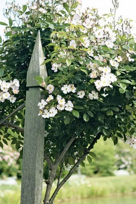 Standard and climbing roses are tied to weathered timber supports.