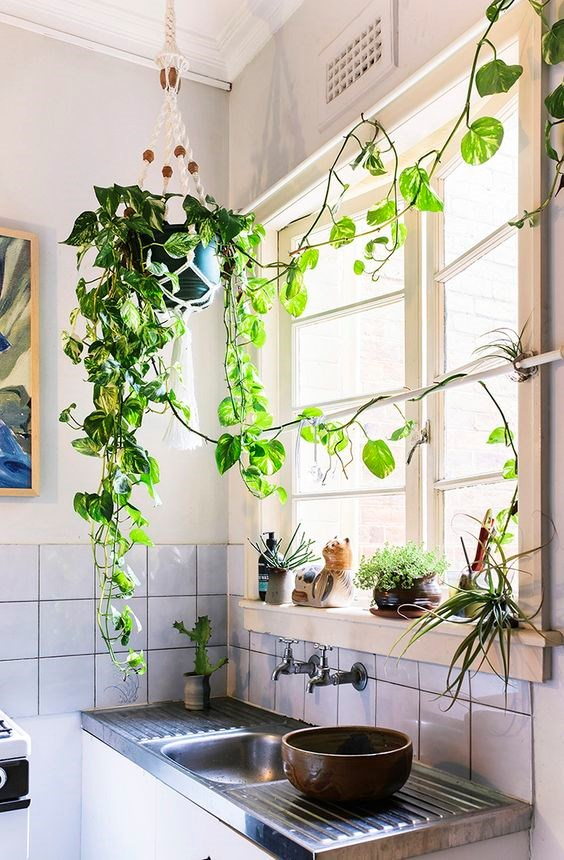 1. Devil's ivy (Epipremnum aureum). This is one of the easiest of all indoor plants to grow and one that drapes beautifully. Devil's ivy (also called pothos) has small but tough heart-shaped green leaves that are splashed with yellow. These plants have trailing stems and are easy to grow from cuttings to increase your collection.
