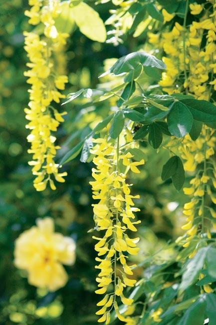 Laburnum flowers droop in the garden with their yellow petals.