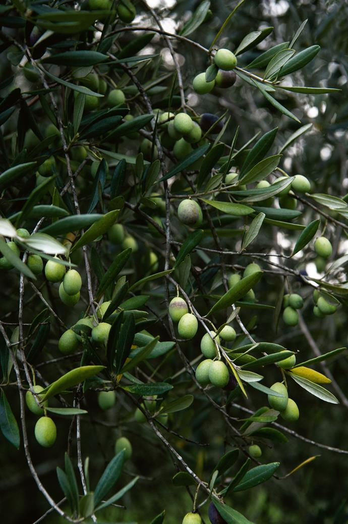 They have planted 1200 olive trees altogether, alongside an orchard that produces figs, pears and oranges amongst other crops.