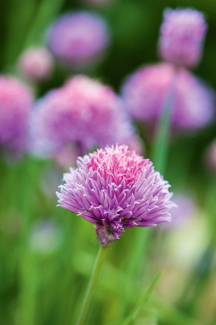 A chive flower, Allium schoenoprasum. | Photo: Claire Takacs