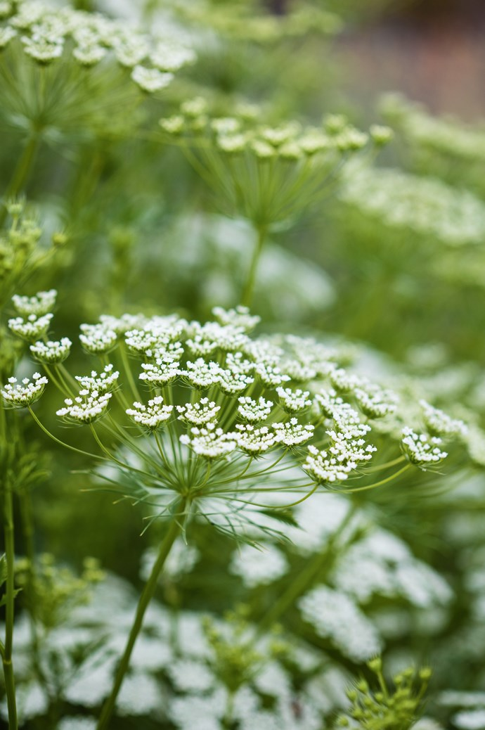 Queen Anne's Lace. | Photo: Claire Takacs