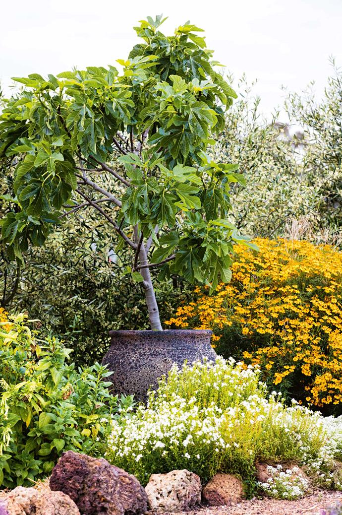 Ficus carica fig tree, surrounded by Geum 'Lady Stratheden', Buddleja davidii 'White Profusion' and Phygelius aequalis.