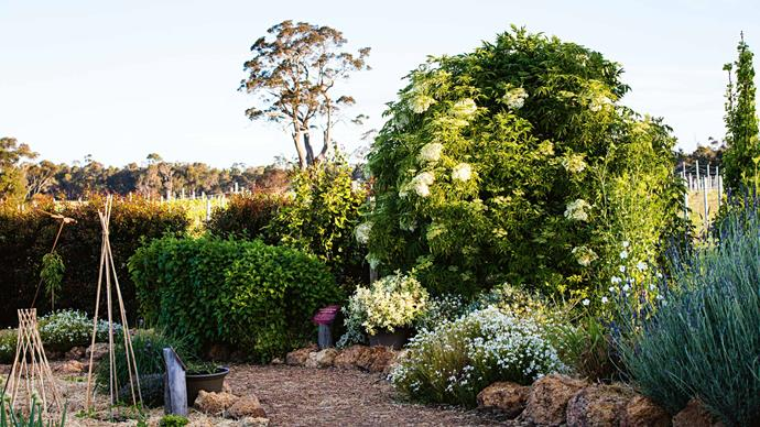 In the sauvignon blanc affinity bed is a bamboo tee-pee with young sugar snap peas growing at the base, while the cage has a caper berry bush growing inside it. The descriptor bed, to the right of the path, features a large elderberry shrub, potted pineapple mint and a large clump of lemon balm.  | Photo: Claire Takacs