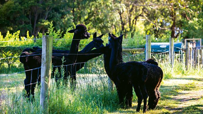 Male alpacas on the left greet some of their six-month-old offspring. They were formerly from a larger herd of black suri alpacas to whom the Pates tended.