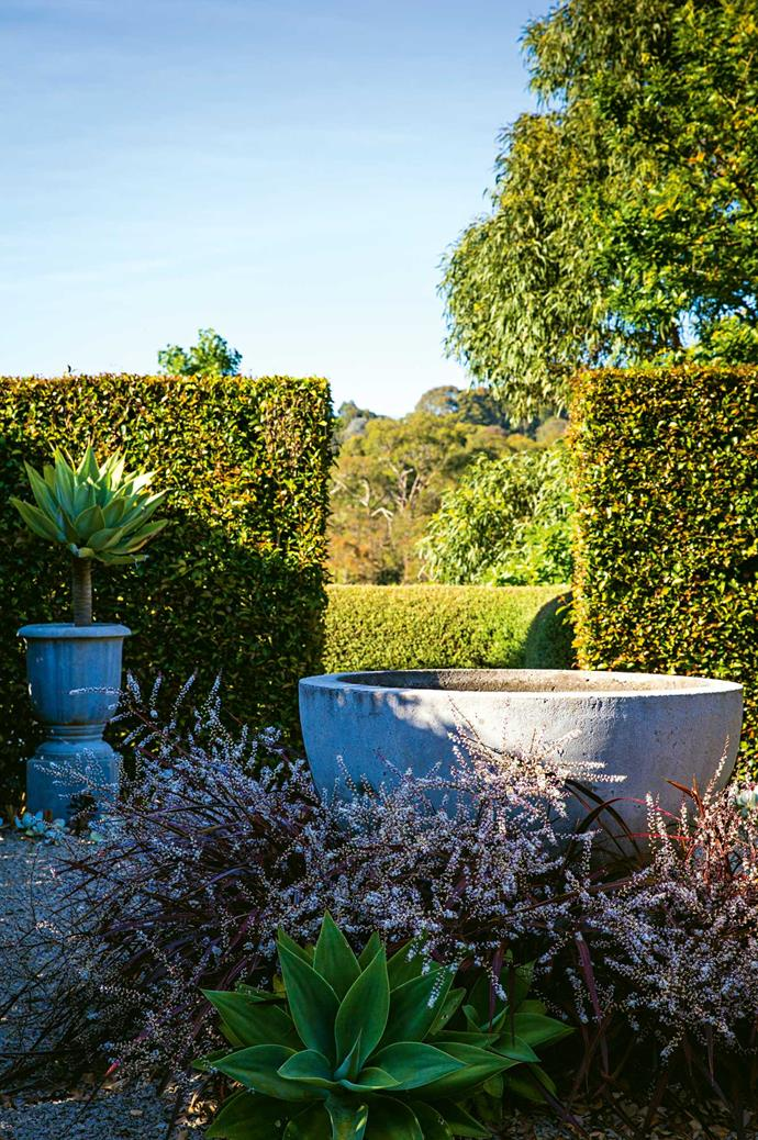 In the area called the Grey Garden, an urn and water feature from the former Lintons Garden & Home are surrounded by spiky Cordyline 'Red Star', agaves and a lilly pilly hedge.