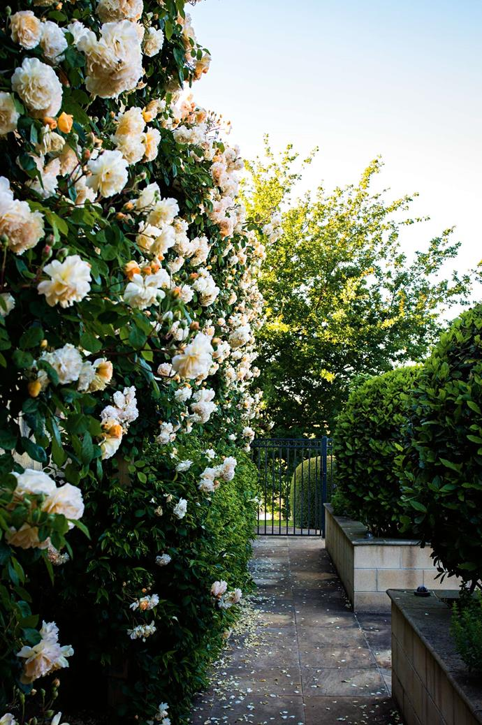 "'Buff Beauty' roses [climb a wall](https://www.homestolove.com.au/the-best-climbing-plants-and-how-to-grow-them-5423|target=""_blank"") opposite shaped bay trees that mark the entrance to the vegetable garden."