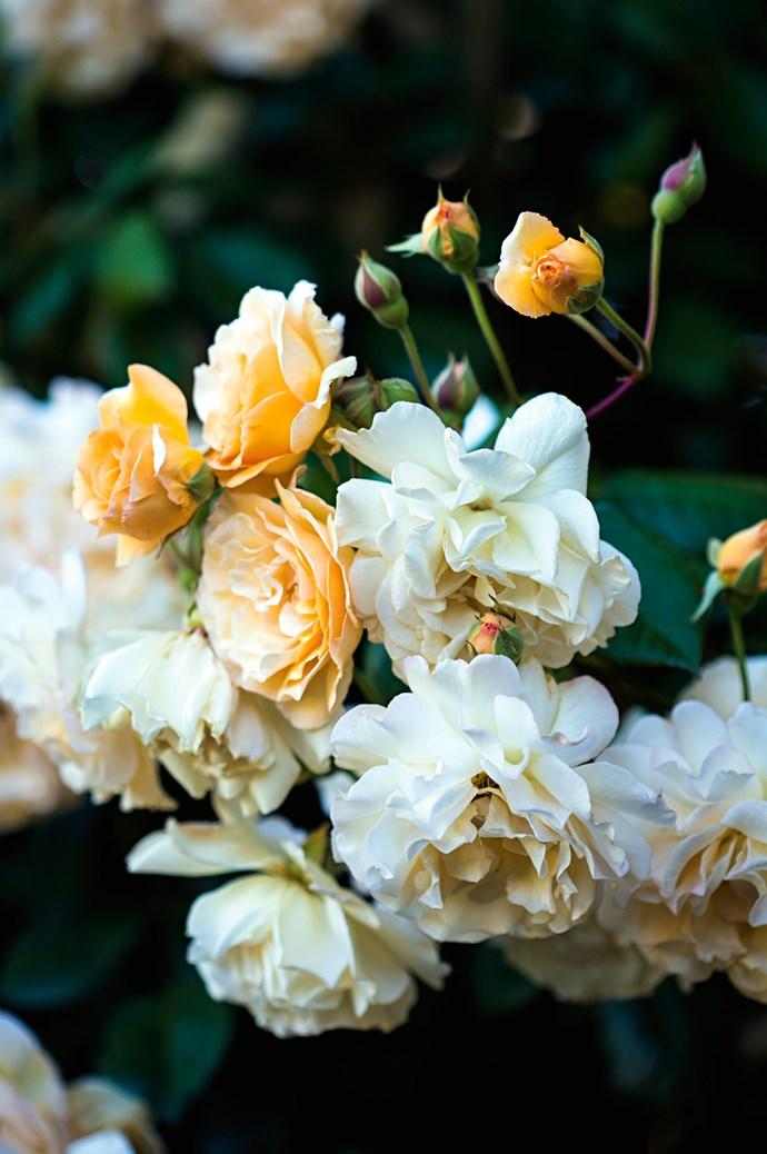 "A 'Buff Beauty' [variety of rose](https://www.homestolove.com.au/rose-varieties-australia-3218 target=""_blank"")."