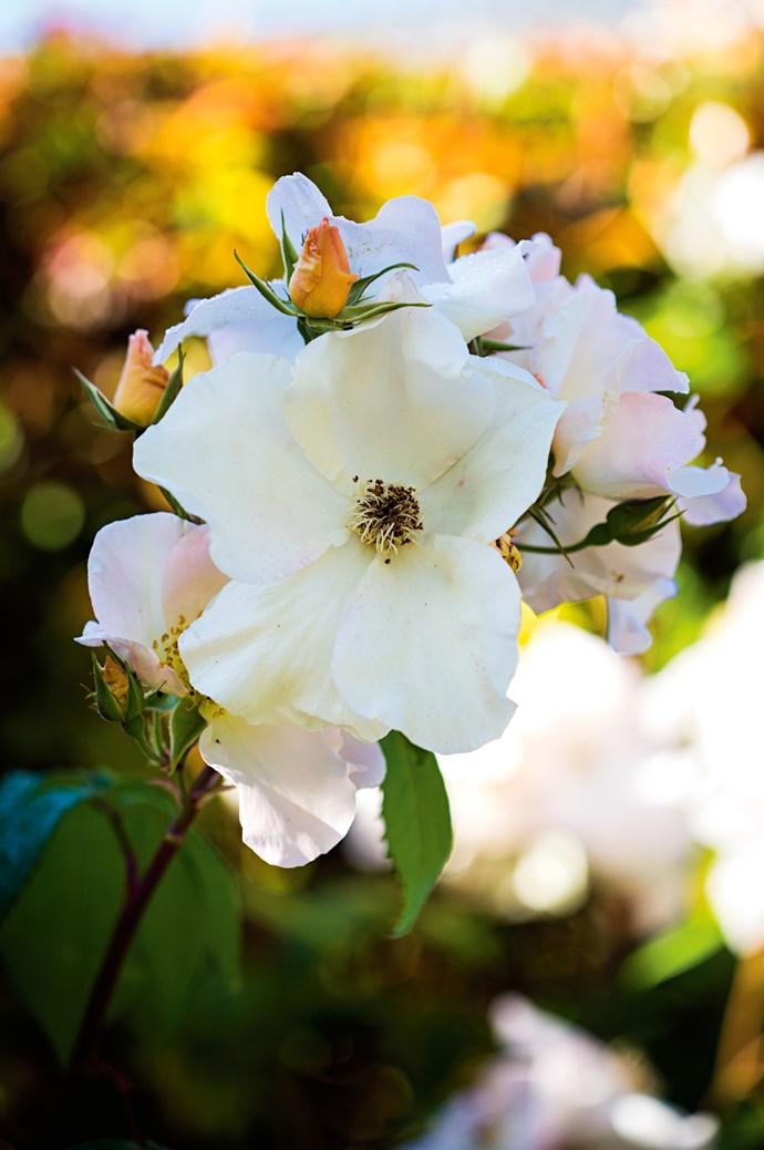 A 'Sally Holmes' shrub rose.