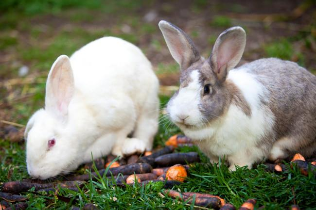 Two of the three rabbits nibble on some carrots.  | Photo: Claire Takacs