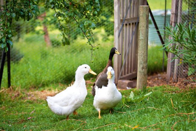 The two white Pekin ducks and an Indian Runner drake share an enclosed orchard with four hens and three rabbits. | Photo: Claire Takacs