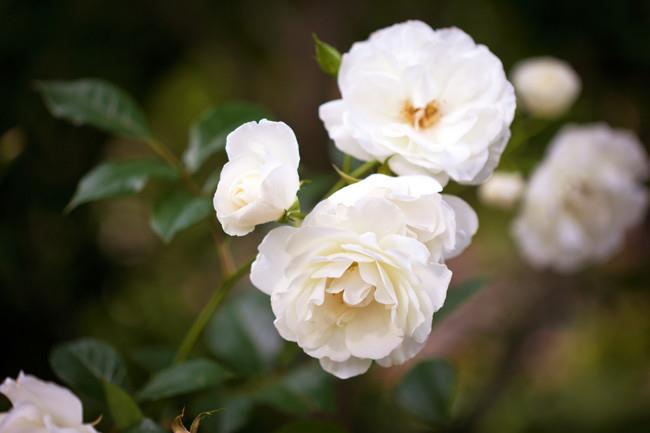'Madame Alfred Carriere', a famous noisette rose. | Photo: Claire Takacs
