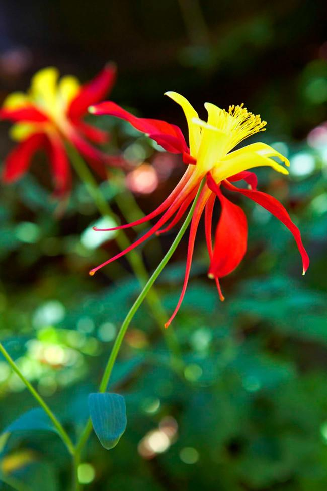 **Granny's bonnet** (Aquilegia McKana Hybrid). Best grown in semi-shade, they're great for picking.