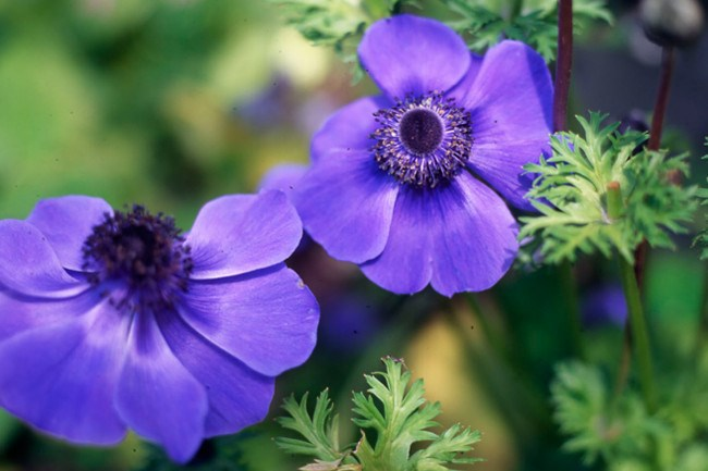**Anemone.** Brightly coloured anemones make great cut flowers. Plant the bulbs in autumn with the pointy end facing down.