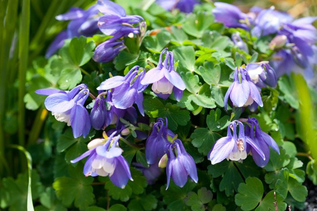 **Aquilegia.** Best grown in semi-shade, they self-sow for more blooms next year.