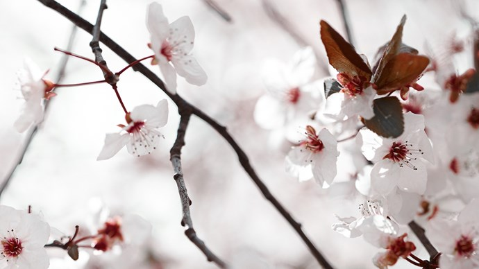 6\. There are many [ornamental cherry](http://www.homelife.com.au/gardening/plant-guides/plant-guide-cherry-plum-blossoms), peach and plum trees (Prunus spp.) to bring that breathtaking cloud of pink or white spring blossom. 3-5m. In warmer zones substitute bauhinia or tabebuia. 3-5m. | Photo: Mark Roper