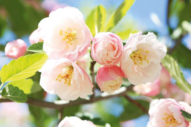 **Crab Apple.** How glorious is this spring blossom? In autumn the plant also offers lovely edible fruit.