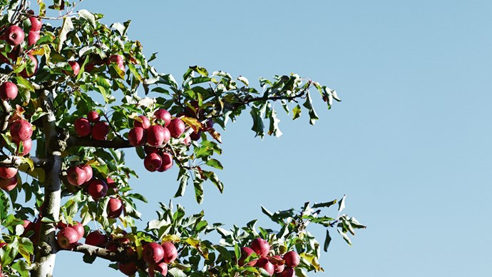 4. Fruit trees. Prune trees that have begun to flower, such as apple trees  | Photo: Mark Roper