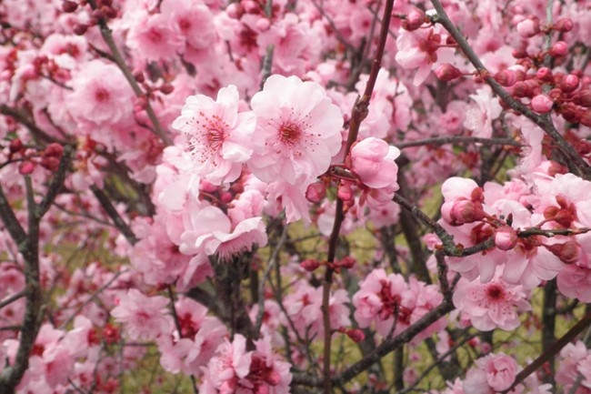 **Prunus Bilreana.** The pink flowering plum is a small deciduous tree with bronze new leaves and abundant large, bright pink, double flowers. It's an excellent blossom tree for small gardens.