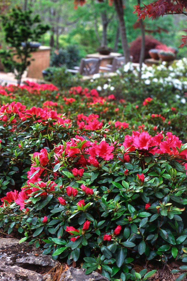 **Azaleas.** An old-fashioned favourite with brightly coloured blooms and dense foliage. New varieties are available with more frost and drought tolerance. They're also less prone to petal blight.