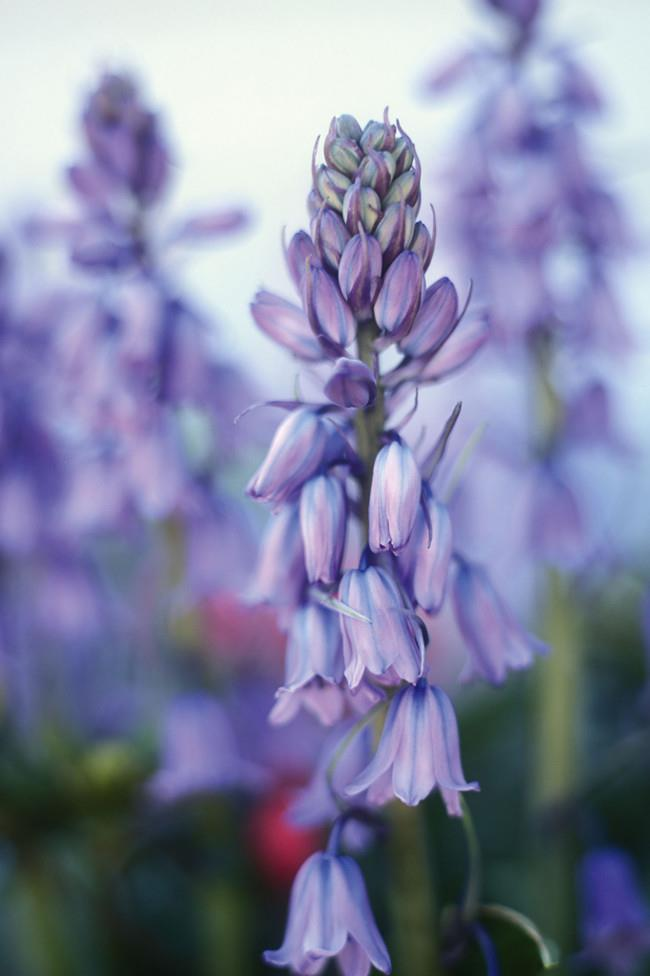 **Bluebells.** Also known as scilla, bluebells are great for mass-planting under deciduous trees or in shaded spots. They also come in white and pink varieties.