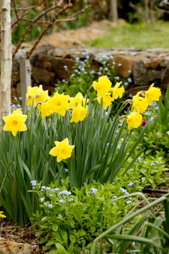**Daffodils.** Also known as Narcissus, daffodils are so bright and cheerful in late winter and spring. Mass plant to naturalise in lawns or under deciduous trees in clumps for maximum effect.