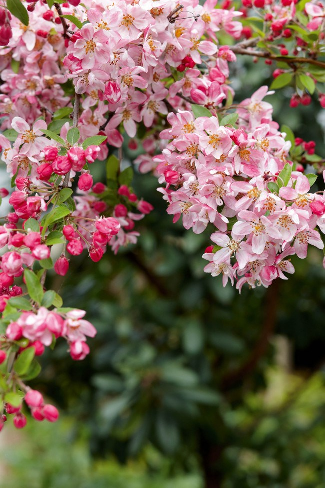 **Malus Floribunda.** The official name of the crab apple with beautiful soft blossoms throughout spring.