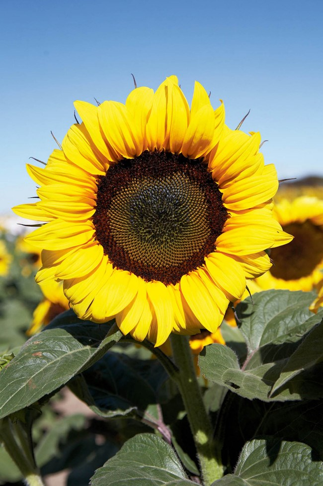 """**Sunflowers.** These [towering plants](http://www.homestolove.com.au/sunflowers-9804 target=""""_blank"""") can grow up to 3 metres tall."""