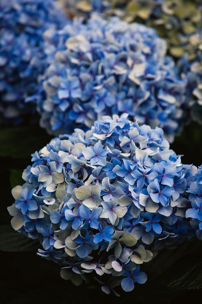 Detail of a blue 'Hydrangea macrophylla'.