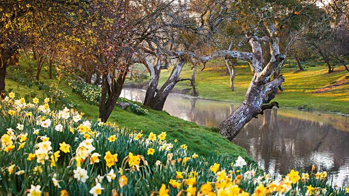 "4. Banongill (Skipton, VIC). Photographer Claire Takacs remarks, ""I've never seen a display of daffodils like this anywhere in Australia. When spring arrives, it is just spectacular and looks like something you might find in England, although with a uniquely Australian backdrop of river red gums running alongside a creek."" 
