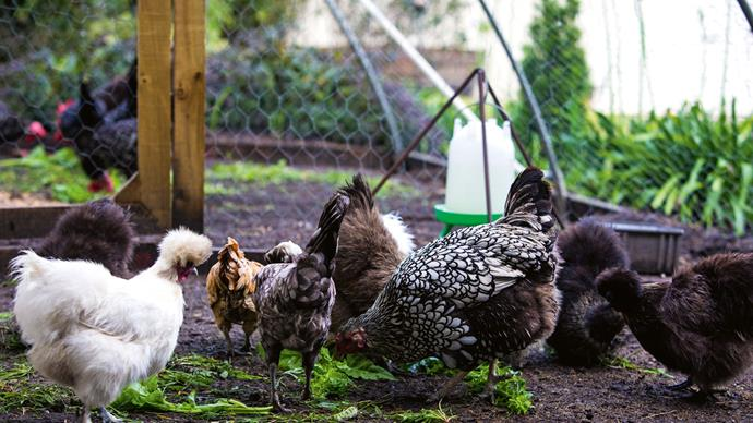 Silkie, Polish and Wyandotte chickens patter around the couple's vegetable patch.