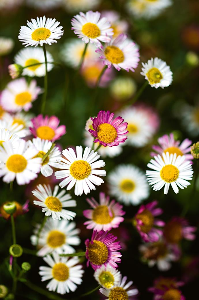 Pretty seaside daisies grow in the garden.
