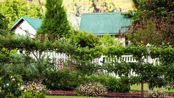 "Espaliered Royal Gala, Red Delicious and Pink Lady apples. As Sally says, ""We've made a few mistakes. If something doesn't work we just pull it out. A lot of trees have done merry-go-rounds around the garden. Some of them survive. Some of them light the bonfire. But that's okay. Neither of us is horticultural. To be honest, we have very much winged it."""
