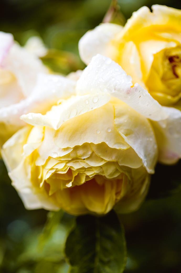 A beautiful David Austin 'Graham Thomas' rose.