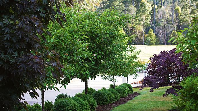 "'Malus ioensis' (Plena) [crabapple trees](https://www.homestolove.com.au/spring-crabapples-9908|target=""_blank"") line the driveway. Underneath are domes of English box, with a 'Crimson Sentry' maple to the left and an assortment of maples in beds edged with mondo grass to the right."