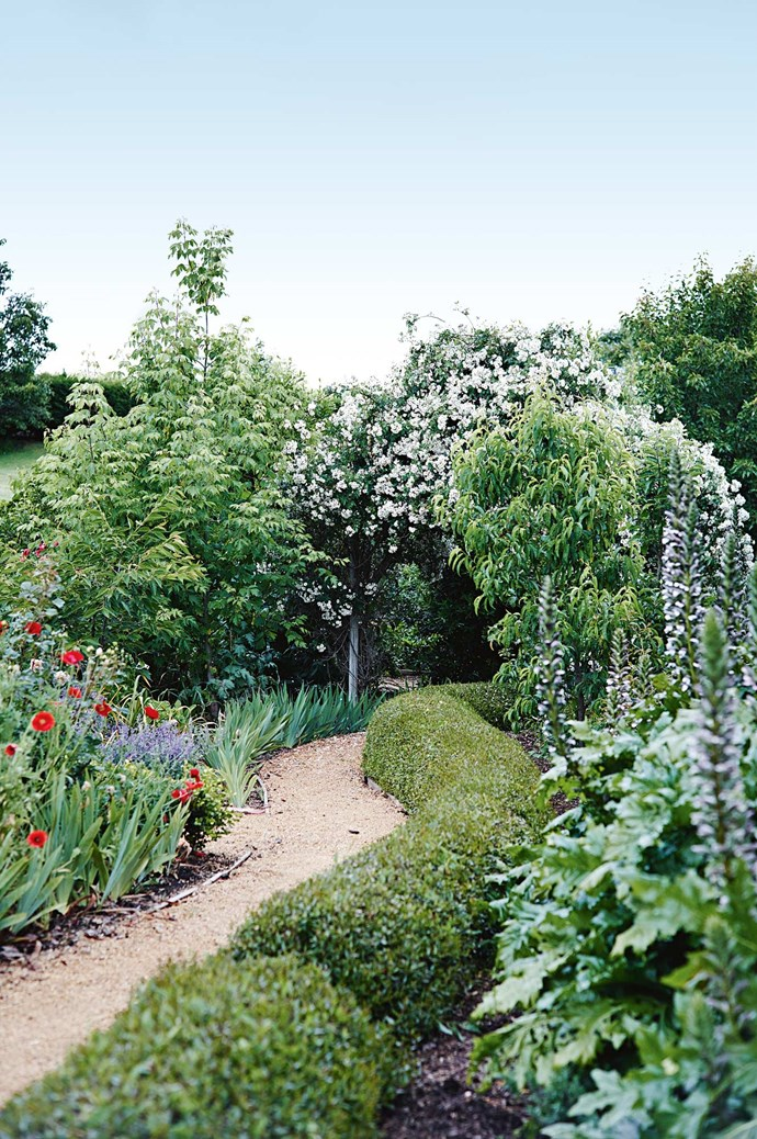 A box hedge wanders past tall stems of oyster plant to an arch wreathed in 'Rambling Rector' roses.